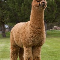 A Wanted Man Alpaca USA