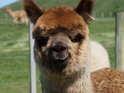Shamarra Roaring Meg ET Alpaca