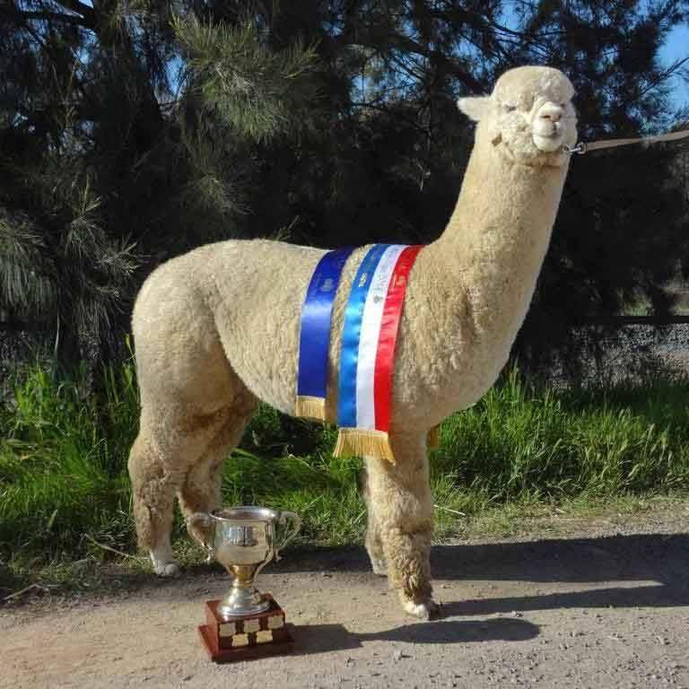 Alpakadeckhengst weiss Australien - Alpha Centauri Kommissar